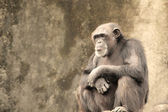 Sad Chimpanzee — Stock Photo