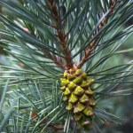 円錐形の松 — ストック写真