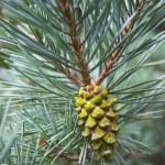 Pine cone — Stock Photo