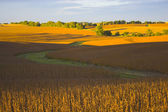 Soybean field — Stockfoto