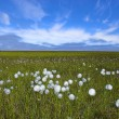 Arctic flowers - Stock Photo