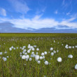 Stock Photo: Arctic flowers