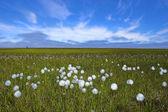 Arctische bloemen — Stockfoto