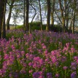 Stock Photo: Pink wild flowers and forest