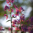 Stock Photo: Macro pink wild flowers