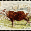 British Cattle Postage Stamp — Stock Photo