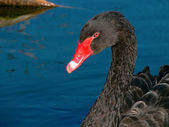 Black swan on water. Fragment. — Stock Photo
