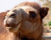 Camel, Israel. — Stock Photo