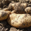 Potatoes — Stock Photo #2319128