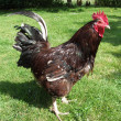 Rooster — Stock Photo #2319294