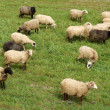 Sheep — Stock Photo #2405335
