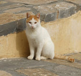 Mediterranean Cat — Stock Photo