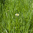 Stock Photo: Green grass meadow with camomiles