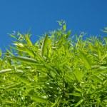 Bright blue sky and green tree — Stock Photo