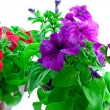 Stock Photo: Purple and red petuniin plastic pots