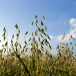 Oat in a cereal field — Stock Photo
