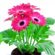 Pink gerbera in a pot — Stock Photo
