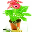 Gerbera with floriculture chopper - Stock Photo
