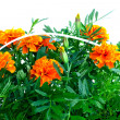Bright orange marigolds in plastic pots - Stock Photo
