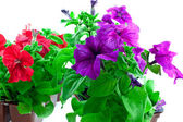 Purple and red petunia in plastic pots — Stock Photo