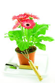 Gerbera with floriculture chopper — Stock Photo