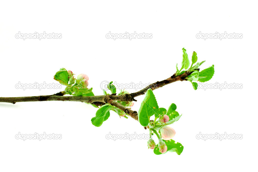 Apple tree branch on a white background stock image