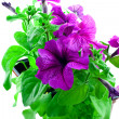 Bright purple petunia in plastic pots - Stock Photo