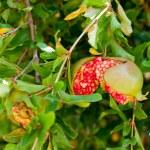 Ripe red shaken pomegranate — Stock Photo