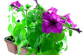 Bright purple petunia in plastic pots — Stock Photo