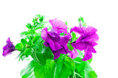 Bright purple petunia — Stock Photo