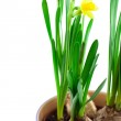 Yellow narcissus in pot isolated — Stock Photo #2328120
