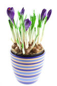 Violet crocuses in a pot isolated — Stock Photo