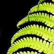 Stock Photo: Fern leave