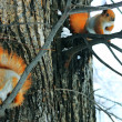 Red Squirrel On The Tree — Stock Photo #2418610