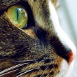 Stock Photo: Close up of cat with green eye