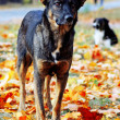 Sad dog in autumn leaves - Photo