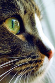 A close up of a cat with green eye — Stock Photo