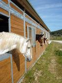 Cavalos no estábulo — Fotografia Stock