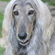 Stock Photo: Afghhound dog