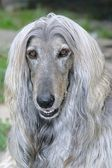 Afghan hound dog — Stock Photo