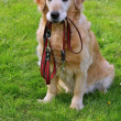 Dog and he leash — Stock Photo