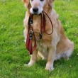 Stock Photo: Dog and he leash