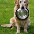 Stock Photo: Golden retriever