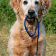 Royalty-Free Stock Photo: Golden retriever with stethoscope
