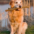 Portrait golden retriever - Stock Photo