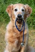Golden retriever with stethoscope — Stock Photo
