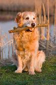 肖像黄金猎犬 — 图库照片