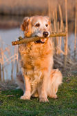 Portrait golden retriever — Stock Photo