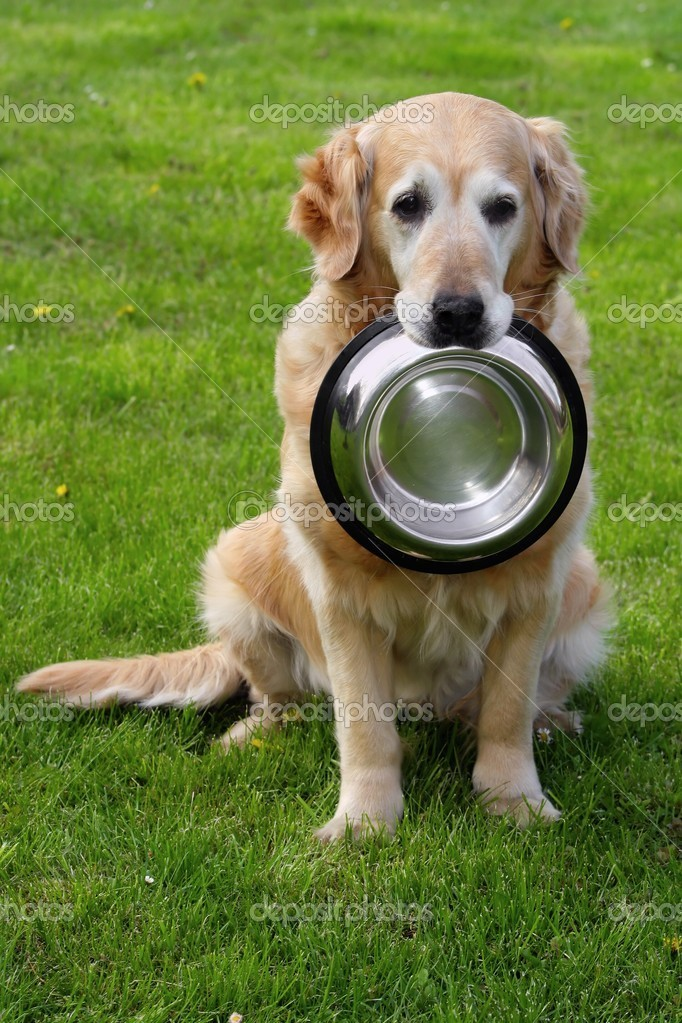 Golden retriever and hiny bowl on granule — Stock Photo #2326634