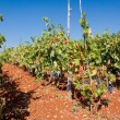 Rows of Grape Vines in Vineyard — Stock Photo